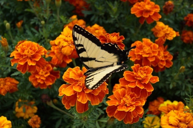 Yellow swallowtail on marigolds
