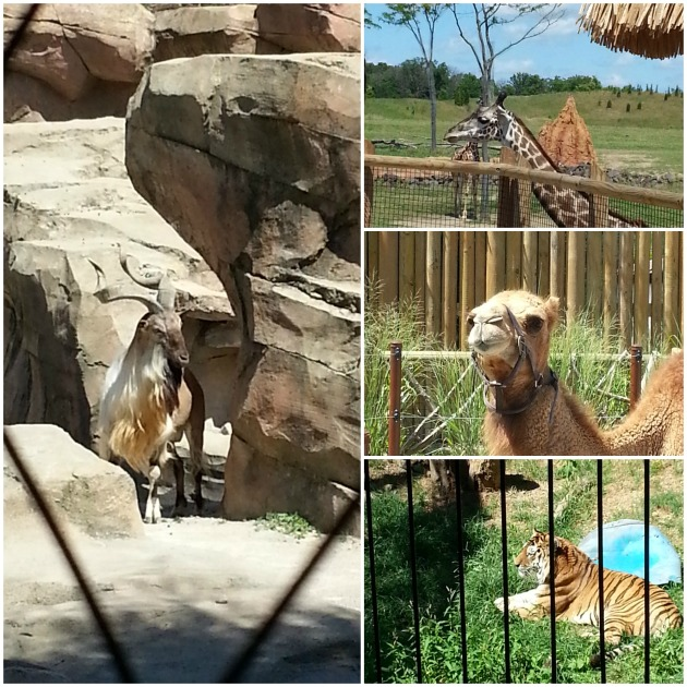 Photo collage of Greater Kudu, giraffe, dromedary camel and tiger