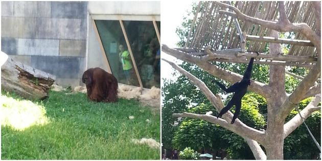 Photo collage of orangutan and siamang