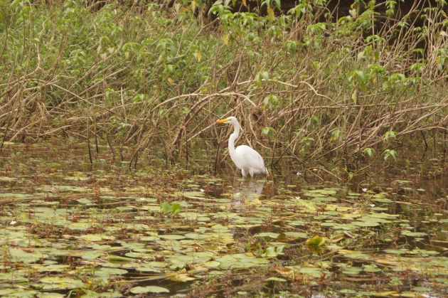 An egret chilling on the Rio Frio