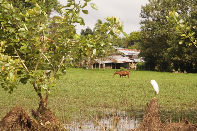 Cattle egret and horse
