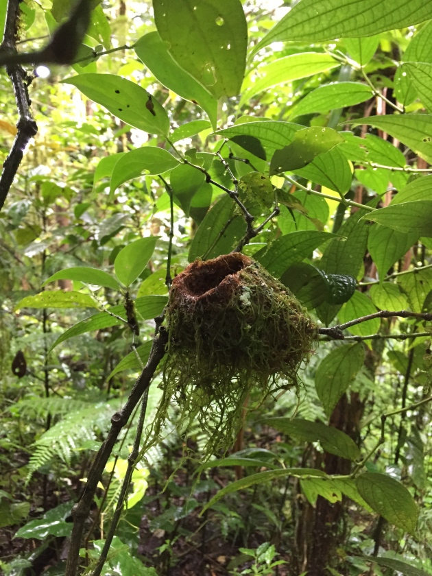 Hummingbird nest in Monteverde