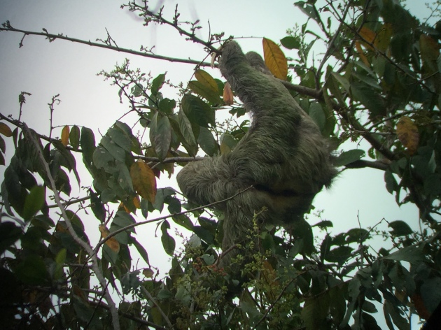 Sloth eating in a tree